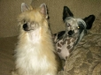 Chinese Crested, 9 Months & 14 months, Apricot puff and black spotted hairless